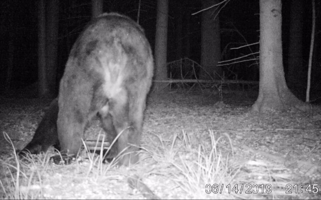 17.06.2019 Brown bear in the Białowieża Forest!