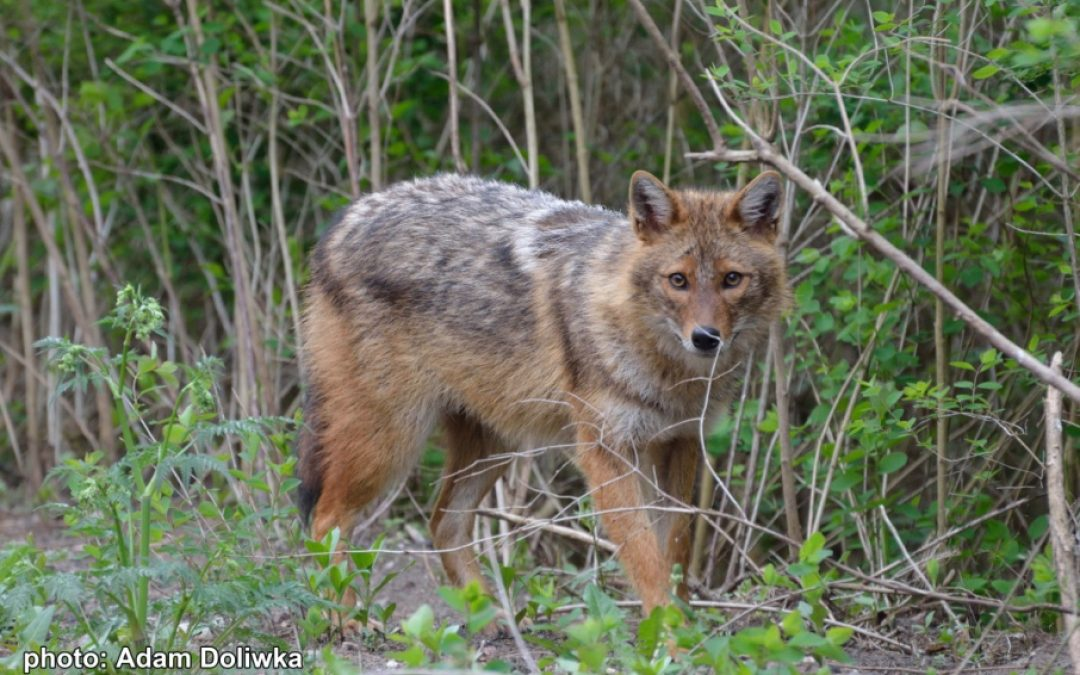10.02.2020 – The first in Poland recorded howling of the golden jackal
