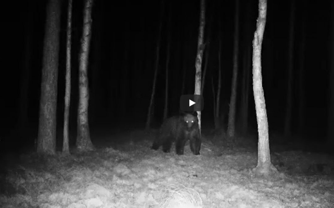 03.04.2020 – Brown bear again in the Białowieża Forest