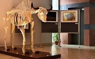 Wystawa poświęcona żubrowi Wikingowi w Narewce