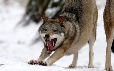 Badania nad wilkiem w Gazecie Wyborczej