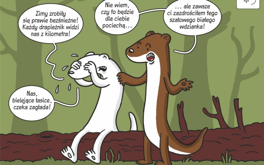 Komiks naukowy o ryzyku wyginięcia łasic bielejących na zimę