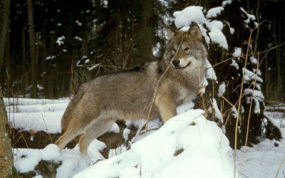 Spotkanie informacyjne na temat wilków w Białowieży