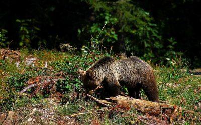 Niedźwiedź w Puszczy Białowieskiej!