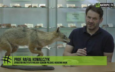 11.08.2019 – #naTropie o szakalach złocistych w Polsce