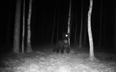 03.04.2020 – Niedźwiedź ponownie w Puszczy Białowieskiej!