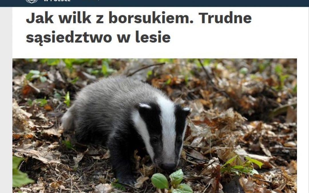 15.10.2020 – Relacje borsuków i wilków w Puszczy Białowieskiej