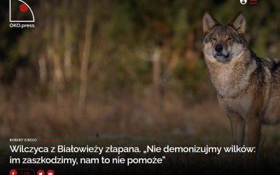 03.03.2021 – Wywiad z dyrektorem IBS PAN na temat wilka w Białowieży