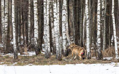 03.03.2021 – Odłów wilka w Białowieży