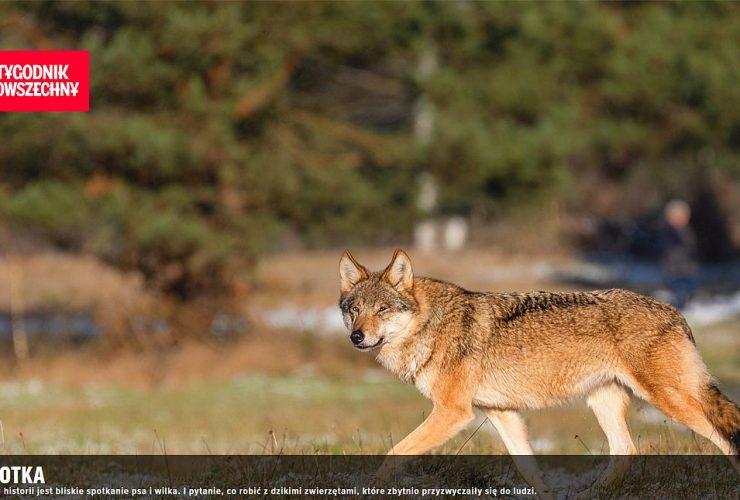 06.10.2021 – Historia białowieskiej wilczycy